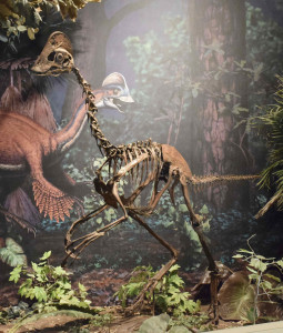 "Das nachempfundeme Skelett des entdeckten ""Anzu wyliei"" im Carnegie Museum of Natural History in Pittsburgh, Pennsylvania (Foto: REUTERS/Carnegie Museum of Natural History)"